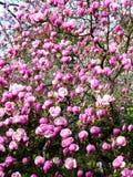 Bloomy magnolia tree with big pink flowers. Bloomy magnolia tree with pink flowers Stock Photo
