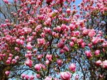 Bloomy magnolia tree with big pink flowers. Bloomy magnolia tree with big flowers Stock Photography
