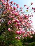 Bloomy magnolia tree with big pink flowers. Bloomy magnolia tree with big flowers Royalty Free Stock Photography