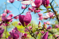 Bloomy magnolia tree with big pink flowers in garden Royalty Free Stock Photos