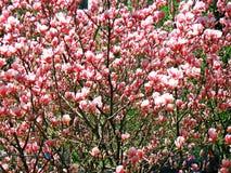 Bloomy Magnolienbaum mit großen rosa Blumen Stockfotos