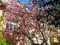 Bloomy Magnolienbaum mit großen rosa Blumen Lizenzfreies Stockbild