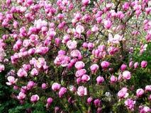 Bloomy Magnolienbaum mit großen rosa Blumen Lizenzfreie Stockfotos
