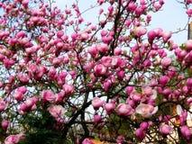 Bloomy Magnolienbaum mit großen rosa Blumen Stockbild