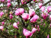 Bloomy Magnolienbaum mit großen rosa Blumen Stockbilder