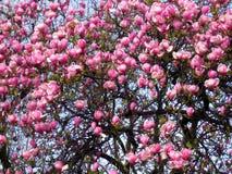 Bloomy Magnolienbaum mit großen rosa Blumen Stockfotografie