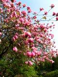 Bloomy Magnolienbaum mit großen rosa Blumen Lizenzfreie Stockfotografie
