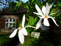 Bloomy Magnolienbaum mit großen weißen Blumen Stockfotografie