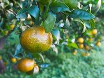 Bloomy mandarina Garten in Valencia stockfotografie