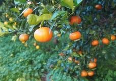 Bloomy mandarina Garten in Valencia stockbild