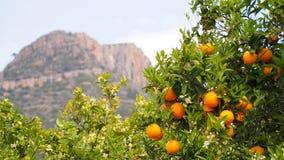 Bloomy orange träd och ett berg i Valencia, Spanien Arkivfoto