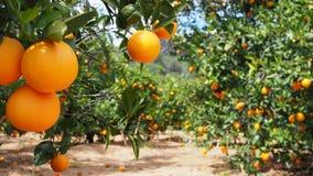 Bloomy orange träd och ett berg i Valencia, Spanien