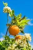 Bloomy orange tree with fruits Stock Images