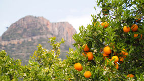 Bloomy orange tree and a mountain in Valencia, Spain stock photo