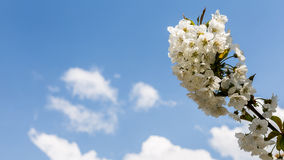Bloomy spring tree and blue sky Stock Photo
