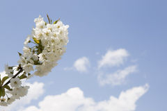 Bloomy spring tree and blue sky Royalty Free Stock Images