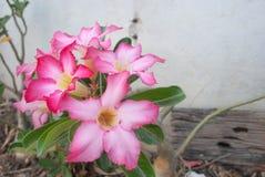 Bloon rosa di plumeria fotografia stock