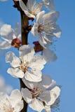 blooom абрикоса Стоковые Изображения