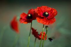Bloooming poppy with bumble-bee. Pollinating flowers Royalty Free Stock Photo