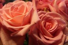 Bloos rozen royalty-vrije stock afbeelding