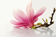 Bloosom. Vivid colored magnolia flower with reflection stock photos