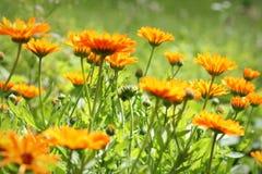 Bloosom anaranjado de la maravilla de pote - los officinalis del Calendula colocan Fotos de archivo