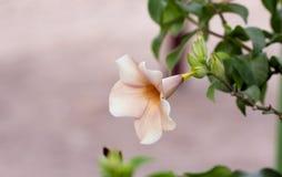 Bloosom blomma Arkivbilder