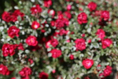 Bloosom blured pequeñas rosas rojas fotografía de archivo