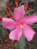 Bloosom cor-de-rosa com botões bonitos Fotos de Stock Royalty Free