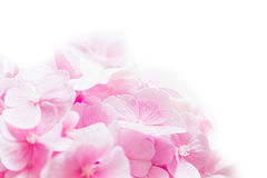 Bloosom hydrangea - pink flower on a white background. Royalty Free Stock Photography