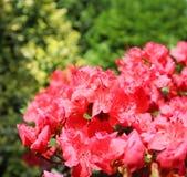 Bloosom of red azalea flower in spring garden. Gardening concept. Floral background.  royalty free stock photo