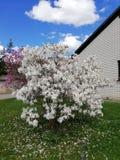 Bloosom tree. Beautiful bloosom tree Royalty Free Stock Photo
