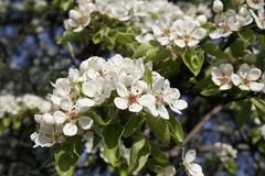 Bloosoming apple tree on the spring stock photo
