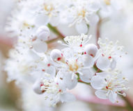 Bloosoming White Tree Pure Delicate Stock Image