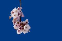 bloosoms樱桃 免版税图库摄影