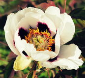Bloossom of white peony flower - Paeonia suffruticosa. Bloossom of white peony flower-Paeonia suffruticosa in garden Royalty Free Stock Image