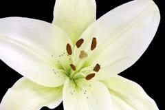 Blootgesteld pollens in de mooie geïsoleerde, lelie van de Madonna Royalty-vrije Stock Foto