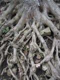 Blootgestelde boomwortels Stock Afbeelding