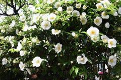 Blopssoms cor-de-rosa Cherokee fotos de stock royalty free