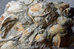 Bloque de cáscaras fósiles Foto de archivo libre de regalías