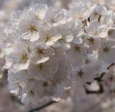 Blosom вишни Стоковое фото RF