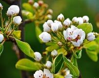 Blosom груши в в начале апреля и пастельной зеленой предпосылки Стоковые Фото