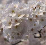 Blosom de la cereza Foto de archivo libre de regalías