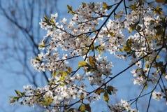 Blosoming苹果树 免版税库存照片
