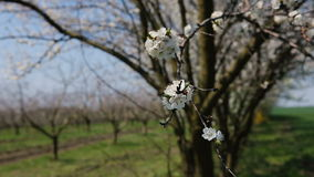Blosoom of the apple tree. Branch with blosoom. stock video footage