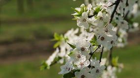 Blosoom of the apple tree. Branch with blosoom. Blosoom of the apple tree. Branch with blosoom stock video