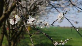 Blosoom of the apple tree. Branch with blosoom. Blosoom of the apple tree. Branch with blosoom stock video footage