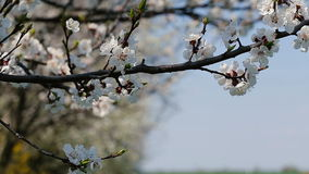 Blosoom of the apple tree. Branch with blosoom. stock footage