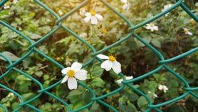 Blosoom minuscule de fleur sous la lumière du soleil, les pétales blancs purs et le pistil jaune blomming sur l'usine verte de fe photo libre de droits