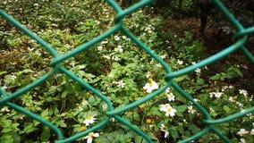 Blosoom minuscule de fleur sous la lumière du soleil, les pétales blancs purs et le pistil jaune blomming sur l'usine verte b de  photo libre de droits